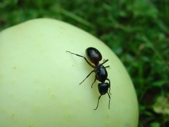 How Much Can An Ant Lift?