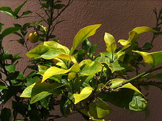 Iron deficiency, note the green veins and yellow leaves.