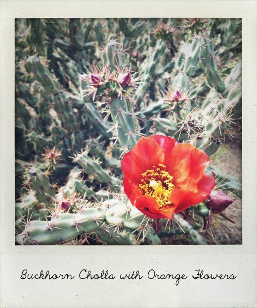 Buckhorn cholla flowers range from yellow to red with many shades in between.