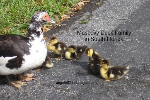 Mother Muscovy and her brood