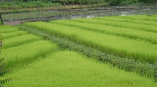 American rice growers may soon have to replace these paddies with corn or soybeans unless the international market becomes more favorable.