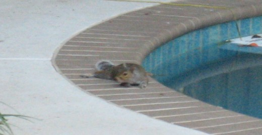 Squirrel by pool, scamper ramp in background.