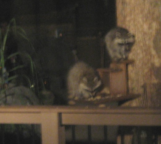 Baby racoons.