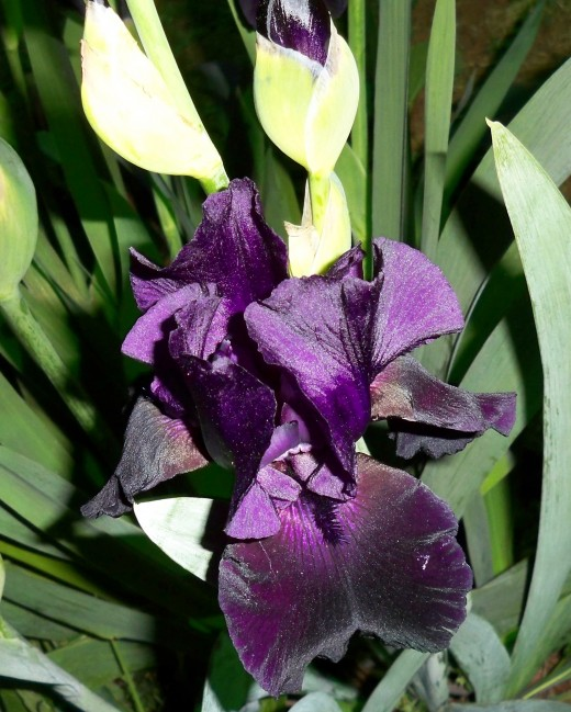 Black Iris Not Quite Fully Open.