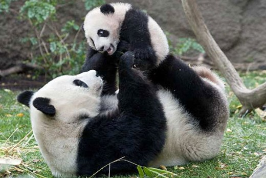 Panda mommy playing with her cub