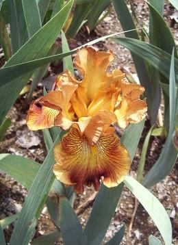 My Favorite Color of Iris