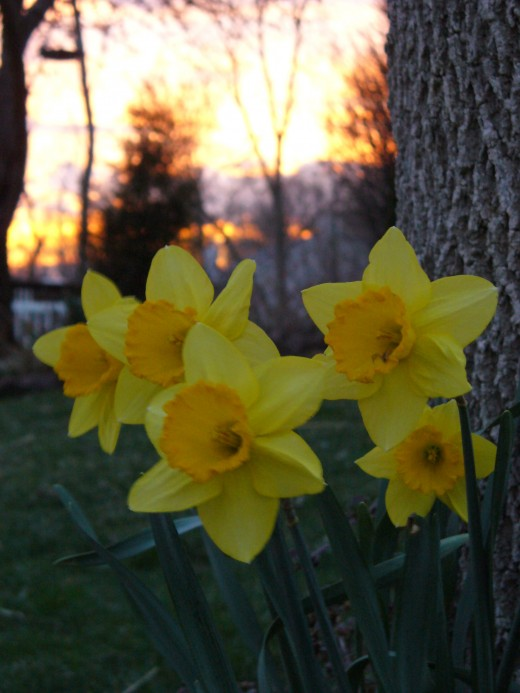 Daffodil flowers in bloom, with a sunset in the background.