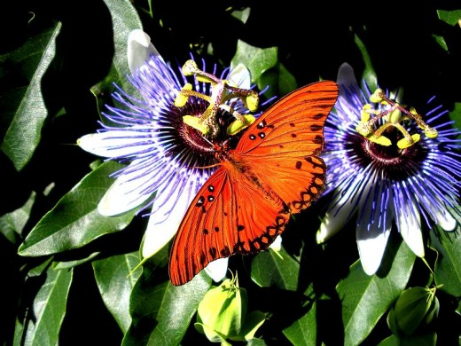 Butterfly visiting passion flowers