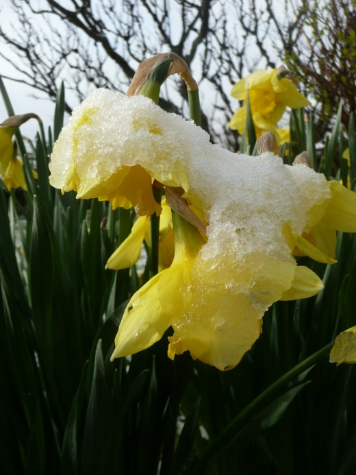 These daffodils got a shock…