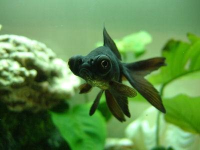 Blackmoor Goldfish