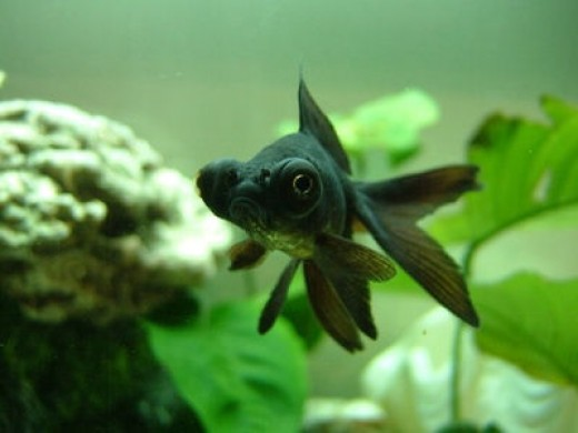 Blackmoor Goldfish