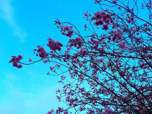 Cherry blossom at dusk