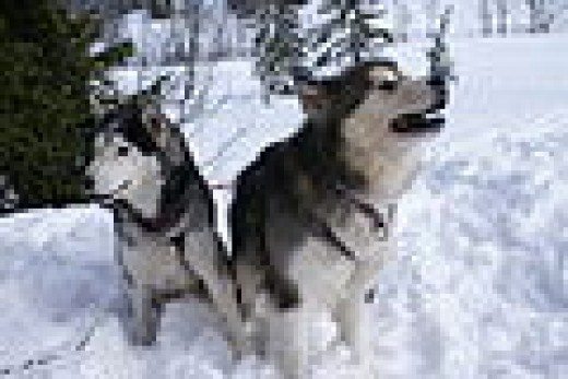 Siberian Husky Ivan and Alaskan Malamute Inu