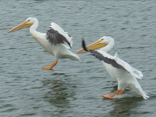 Pelicans on Lake of the Woods