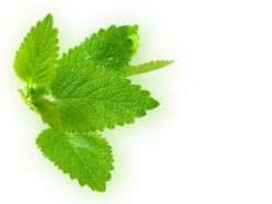 How to Use Fresh Lemon Balm: Five Best Ways