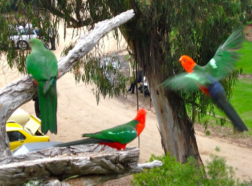 Beautiful King Parrots