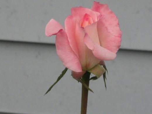 Pink Blush Bud