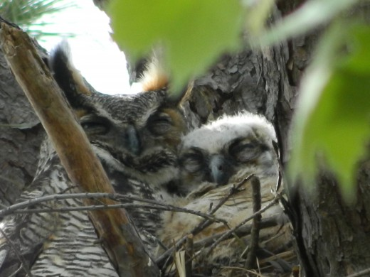 Great Horned Owl with One baby