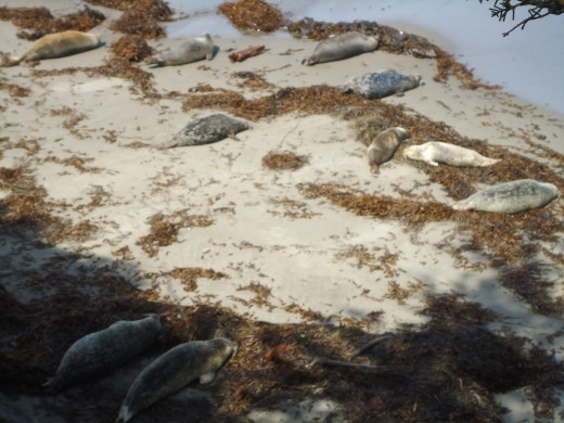 Harbor Seals Resting