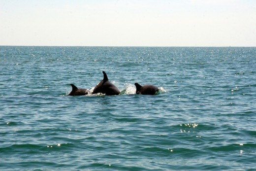 These Atlantic Bottlenose Dolphins were very close to our tour boat.