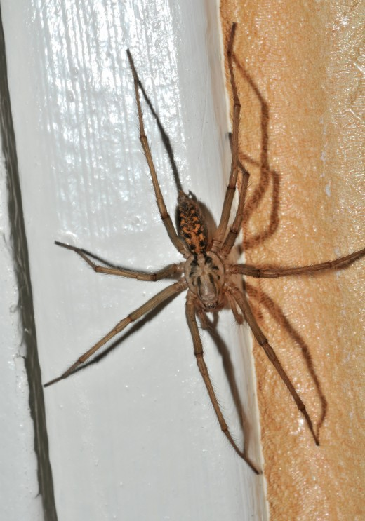 Don't let their size intimidate you. Giant house spiders are very beneficial.