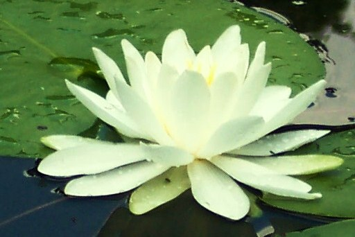 A beautiful Lily on my Pond