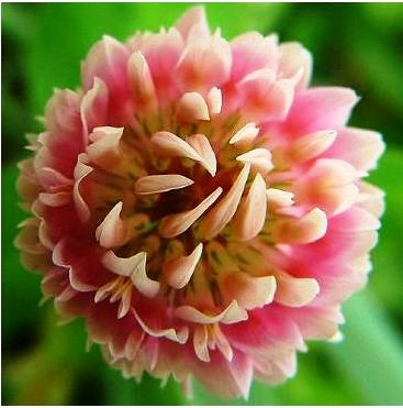 Isoflavones are the active ingredient in red clover. Issues of dosage and effect on breast tissue remain unclear