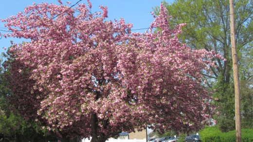 Vibrant trees that blossom in colors of pink, purple and white captivate our attention during spingtime.