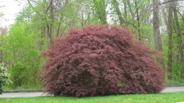 """An awesome Japanese maple that just says, """"Look at me! I am beautiful."""""""
