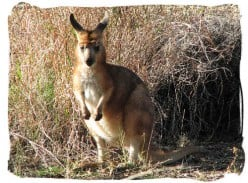 Skippy, Kangaroos and Wallabies