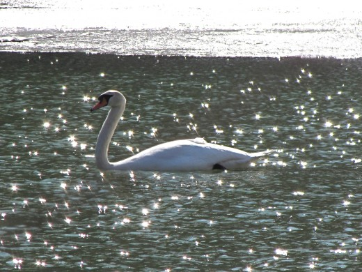 One of the Swan's in Forest Park.