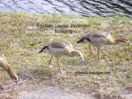 Young Egytian Geese grazing on the grasses and weeds.