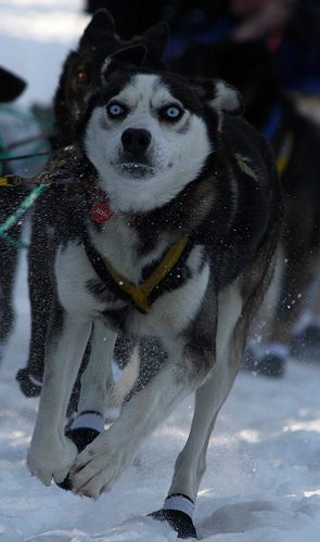 8 March 2009. Ceremonial Start of the Iditarod sled dog race in Anchorage, Alaska.