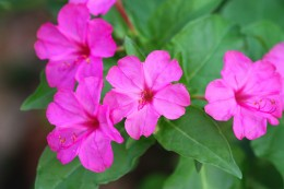Pink Four O'Clocks from my Flower Bed