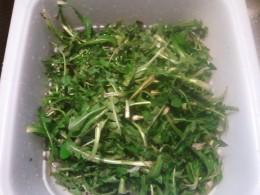 Fresh dandelion greens
