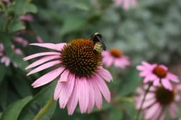 Purple Cone Flower and Bee from my Flower Garden