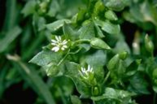 Star chickweed is a powerhouse of nutrients!