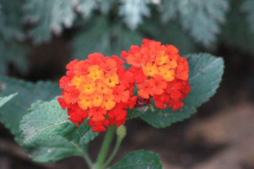 Lantana in yellow or orange/red is my favorite perennial for an abundance of color all summer.