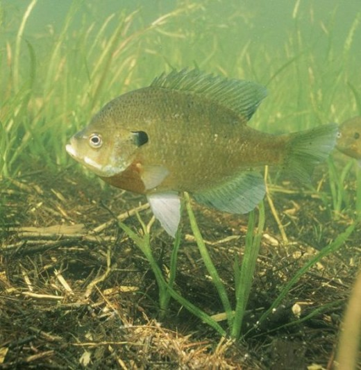 Nice Bluegill waiting for a fisherman.