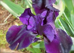 Spectacular Black Iris Opening Up