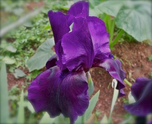A New Iris Unfolds