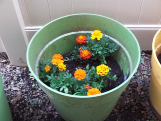 These marigolds are serving as inspiration for my drawing.