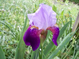 Happy Iris