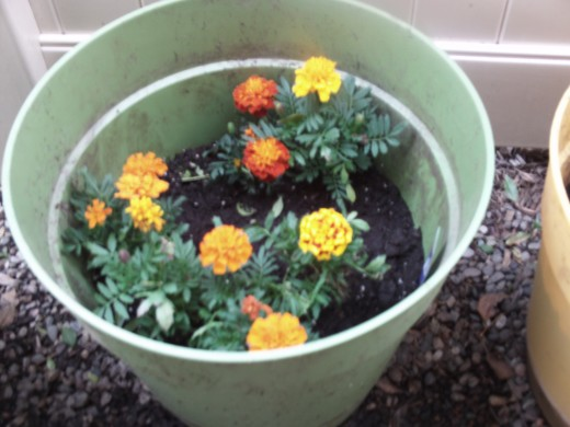 The variety of orange and yellowish marigolds.