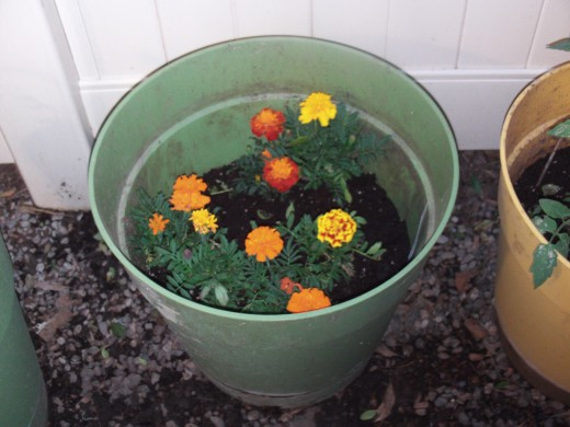 Planted marigolds are cheaper and last longer than buying a bouquet of flowers.