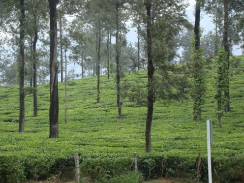 A tea estate in Wayanad