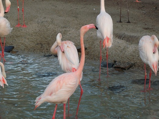 Flamingos at Animal Kingdom Lodge    Photo by me :)