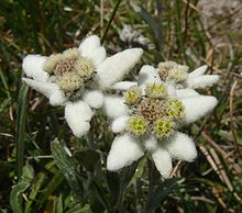 "Everyone has heard the much loved Austrian folk song, ""Edelweiss"", inspired by this noble white flower."