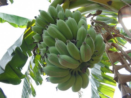 Ripening hand of bananas in Vietnam