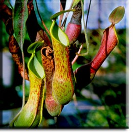Nepenthes pitchers hang from tendrils